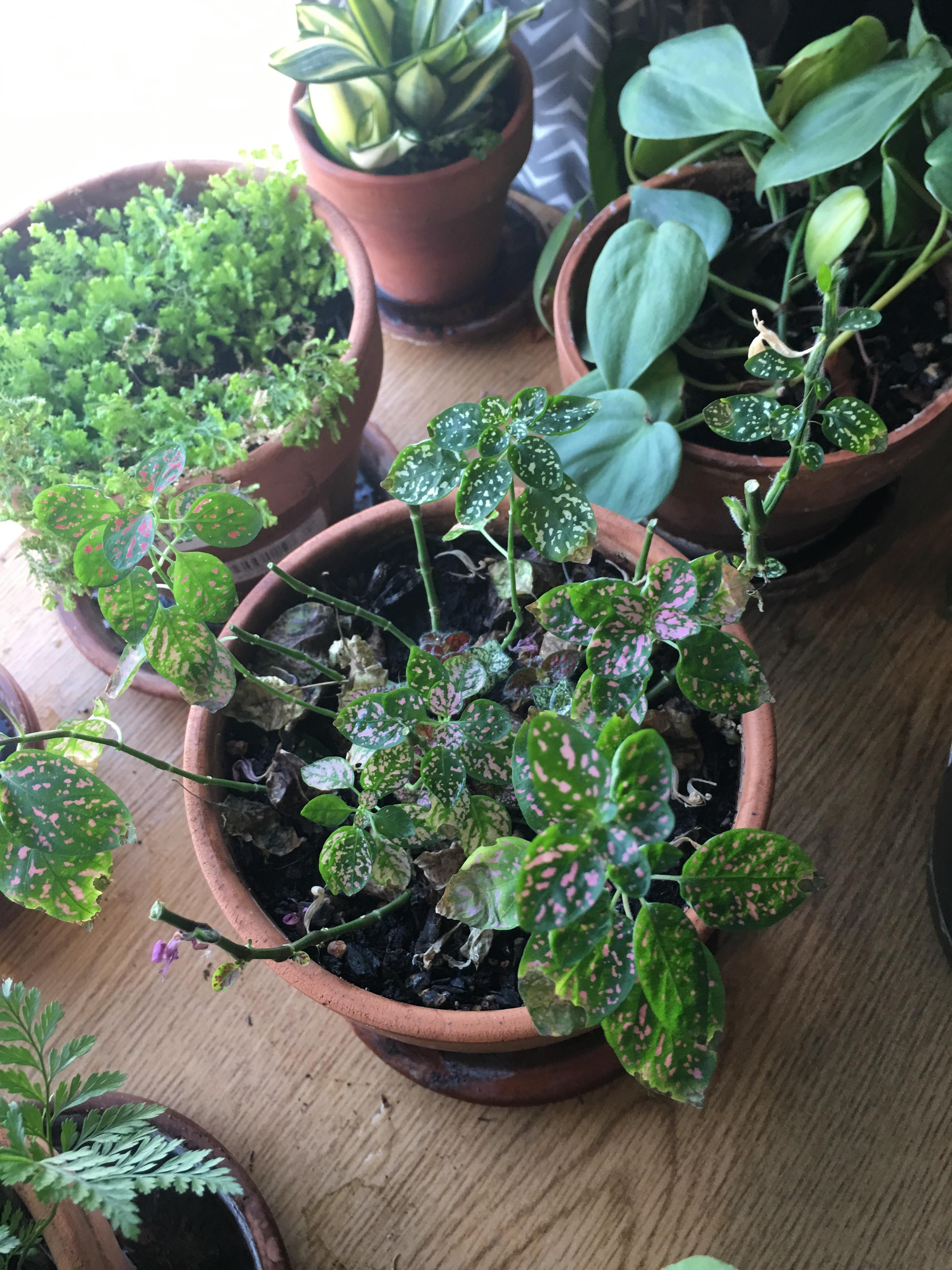 Polka Dot Plant, trimmed